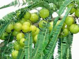 Amlaki Ekadashi Fasting Vrat | आमलकी एकादशी महत्त्व विधि तथा कथा